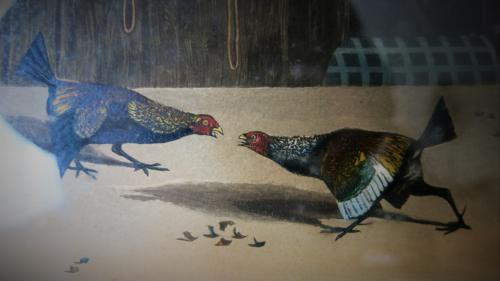 Set Of 6 Cockfighting Drawings & Engravings